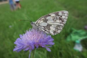 motýl_chrastavec